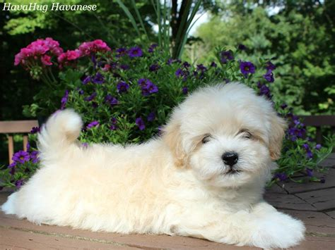 havanese puppies for sale in indiana white havapoo puppies www pixshark images galleries with a bite