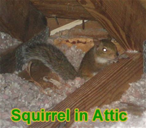 Squirrel In Ceiling by Animal In The Attic How To Get Animals Out Of Your Attic
