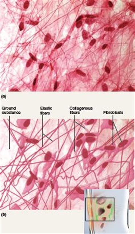 Plenty Tissue 1000 images about chapter 5 histology on