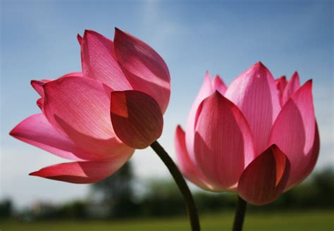 what is a lotus flower pretty in pink beautiful nature wallpaper lotus flower