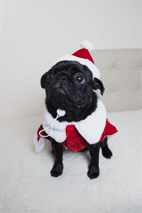 pug puppies in costumes marceline puppy pug pet pugs boo 2015 pug puppy black pug