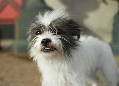 shih tzu terrier mix shih tzu terrier mix
