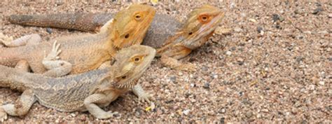 how often do bearded dragons go to the bathroom how often do you have to clean reptile carpet thecarpets co