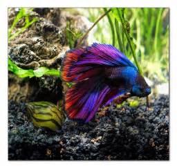 betta fish colors rainbow colored betta fish