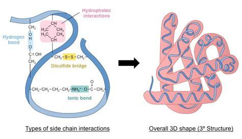 protein quaternary structure bonds protein tertiary structure bonds www pixshark