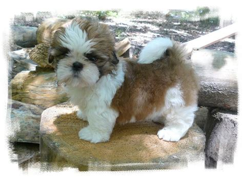 shih tzu for sale in tn ga shih tzu shih tzu puppies for sale in fl al tn sc nc rachael edwards