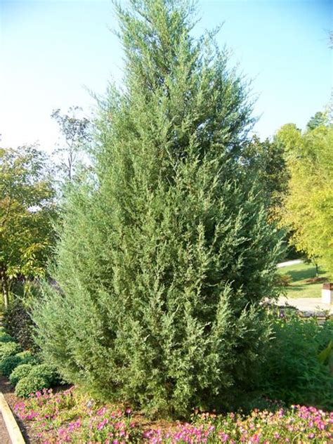 xmas trees stover 37 best images about juniperus virginiana on trees southern and garden plants