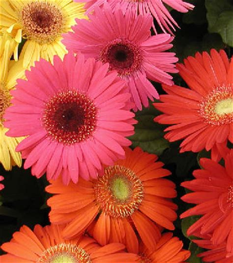gerbere fiori coltivazione gerbera