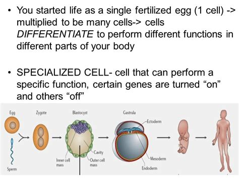 ppt specialized cells powerpoint presentation id 6092529