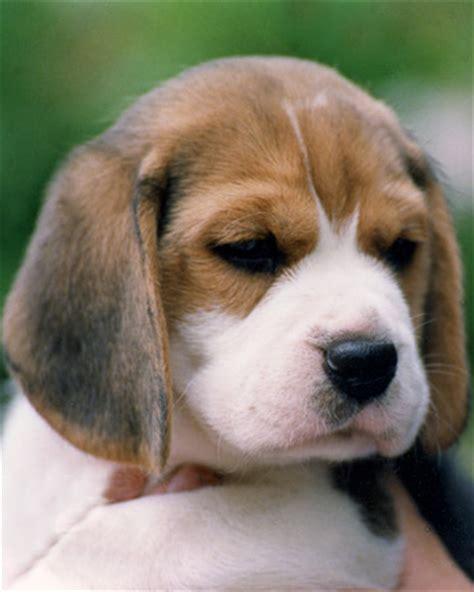 non allergenic dogs small non allergenic dogs breeds picture