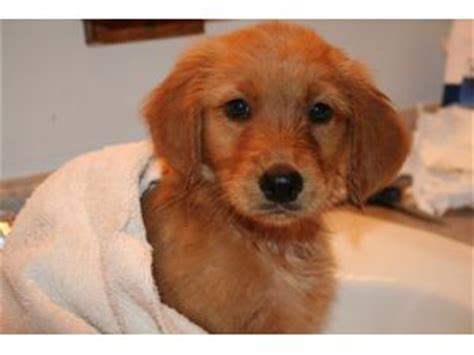 golden retriever breeders in sc golden retriever puppies in south carolina