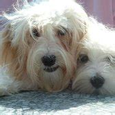 havanese rescue chicago halo havanese league organization animal shelters chicago il reviews