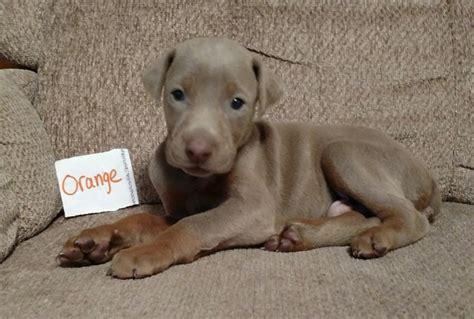 doberman pinscher puppies for sale in ohio doberman pinscher puppy for sale in atwater ohio