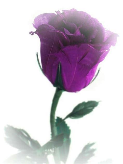 Balloonable Petal Mawar Lembaran Artificial beautiful single purple photography beautiful purple roses and purple