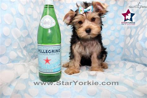 tom brady yorkie dogs and puppies for sale and adoption oodle marketplace