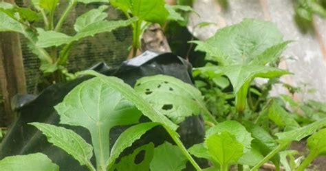 Bibit Yakon daun ekor kucing daun yakon