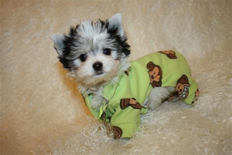 yorkie clothes for sale collar clothes for teacup terrier breeds picture