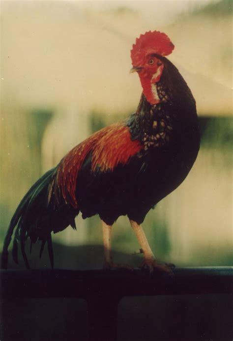 Alas Pasir Kandang Ayam tips merawat ayam bekisar sebelum mengikuti kontes