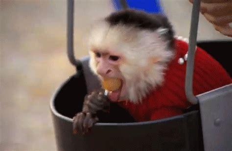 new year monkey animated gif animated gif find on giphy