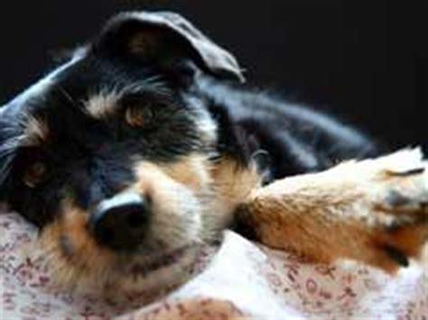 vetprofen for dogs vetprofen side effects in dogs