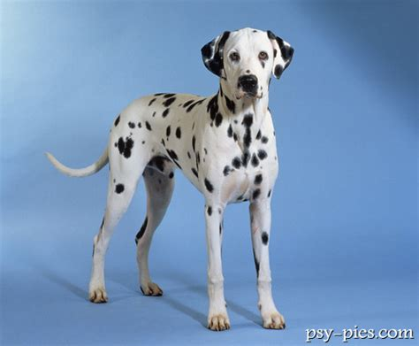 Do Dalmatians Shed by Dalmatians Are Active Dogs And Need Lots Of Exercise