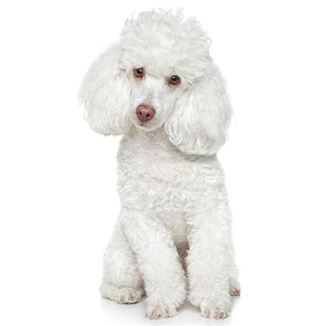 medium poodle lifespan poodle poodle pet insurance breed info