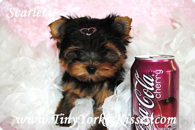 micro yorkie puppies for sale near me tiny yorkie kisses terrier breeder fairfield california
