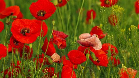 computer wallpaper poppies red poppy wallpapers wallpaper cave