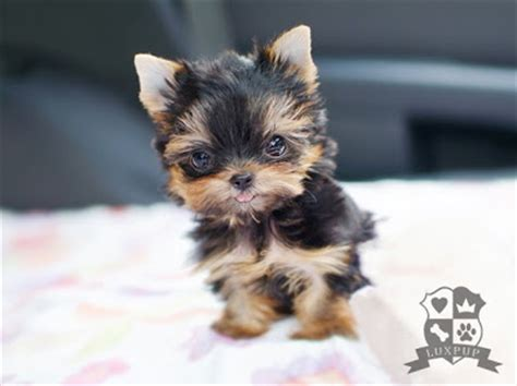 yorkie pooping blood what do a yorkie ton look like breeds picture