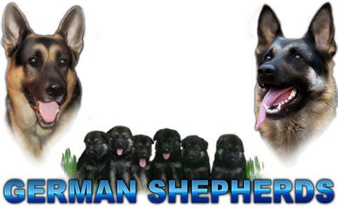 breeders in nc best german shepherd breeders in carolina dogs our friends photo