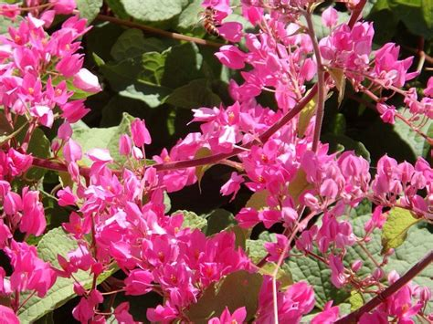 coral vine plant gorgeous bright pink flowers  hot