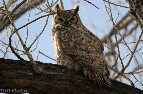 colorado photos great horned owl