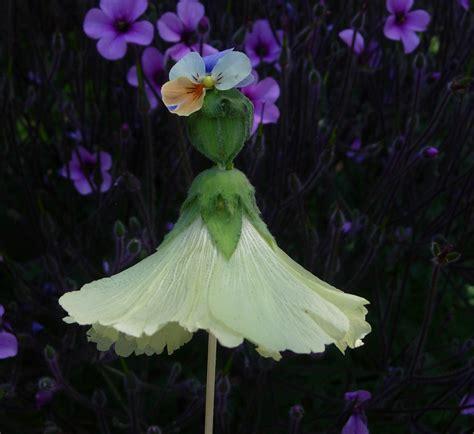 thyme in a bottle hollyhock dolls abutilon dolls flower dolls