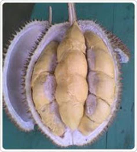 Bibit Durian Petruk Jogja musttrie s harga bibit durian menoreh kuning jogja