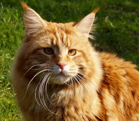 Maine Coon   The Life of Animals