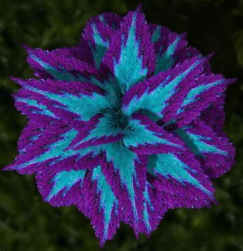 lw potted coleus plant mesh genus  purple blue