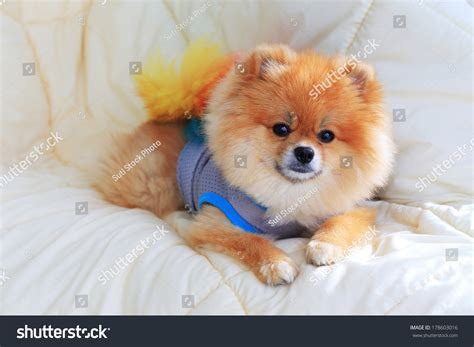 pomeranian dog house cute pet in house pomeranian grooming dog wear clothes on bed at home stock photo
