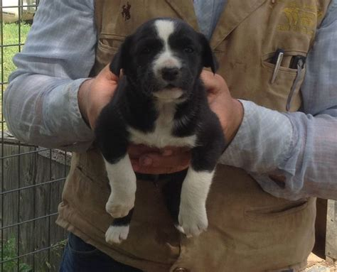 hanging tree puppies hanging tree puppies for sale for more information click on the image or see ad