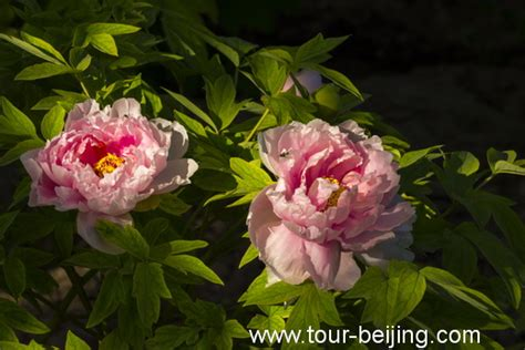 peony tours where to see peony in beijing 171 china travel tips tour