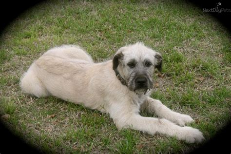 wolfhound puppies for sale wolfhound puppy for sale near wichita kansas 9a9e6a23 6ef1