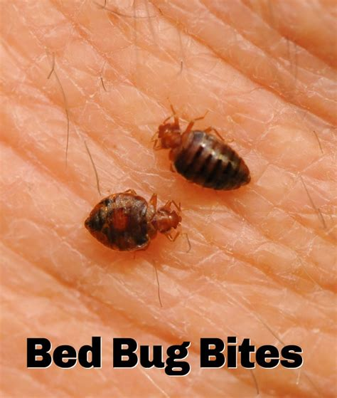 48 best images about bed bugs on