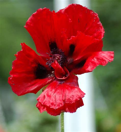 Bunga Poppy Mix Colour garden planting guide farmer seeds