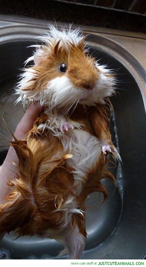 cute guinea pig   bath   trinket hated bath
