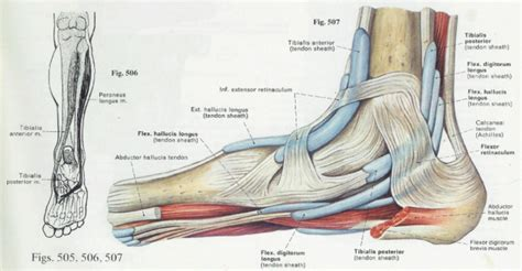 ligaments diagram foot anatomy ligaments and tendons human anatomy diagram