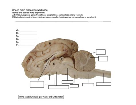 sheep brain diagram a skyview brain nw noggin neuroscience outreach