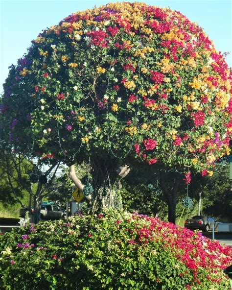 17 best images about arbol florido on pinterest trees madagascar and parks