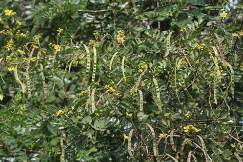 imagenes hojas de sen t 233 para una panza chata infusi 243 n laxante y
