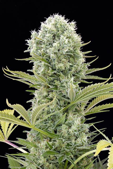 lade cannabis cuantos tipos de marihuana existen marijuana tm