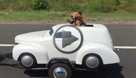 car dogs trailer petrolhead enjoys classic car trailer ride