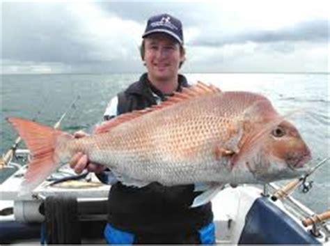 Pakan Udang Galah Alami teknik umpan mancing ikan kakap putih besar 2018 mancing